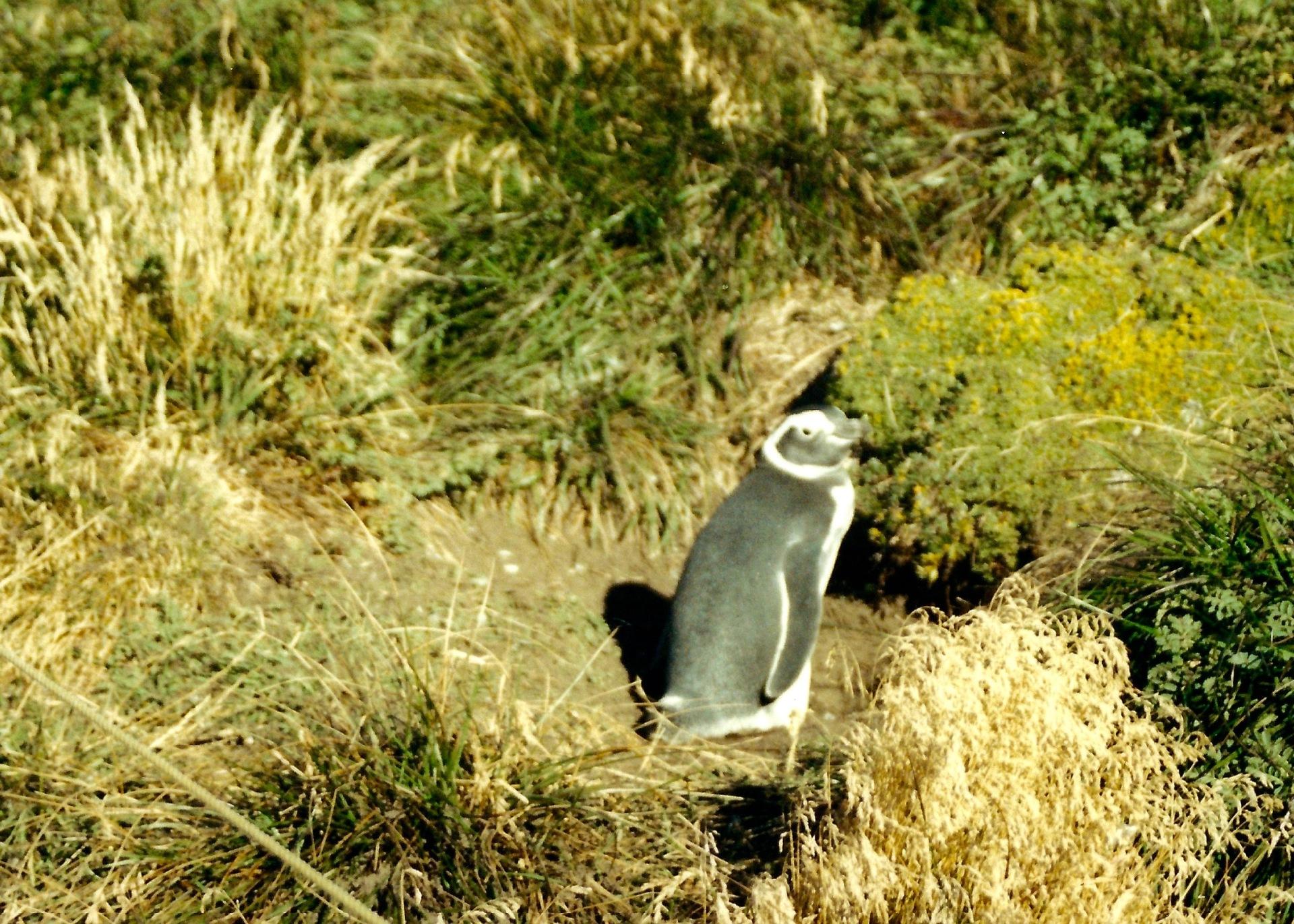 Amigo Pinguino