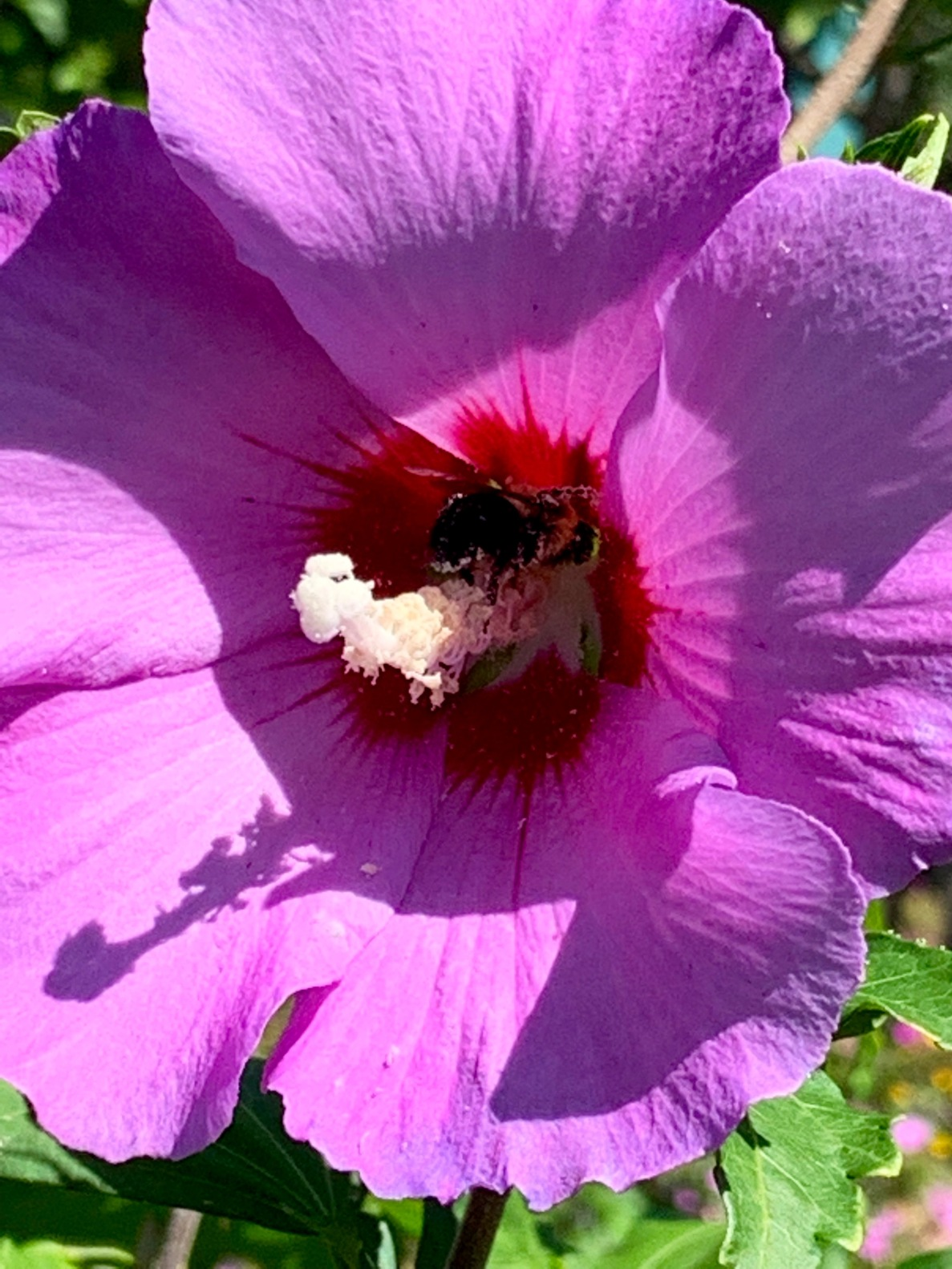 Bumblebee in a Rose of Sharon Bloom