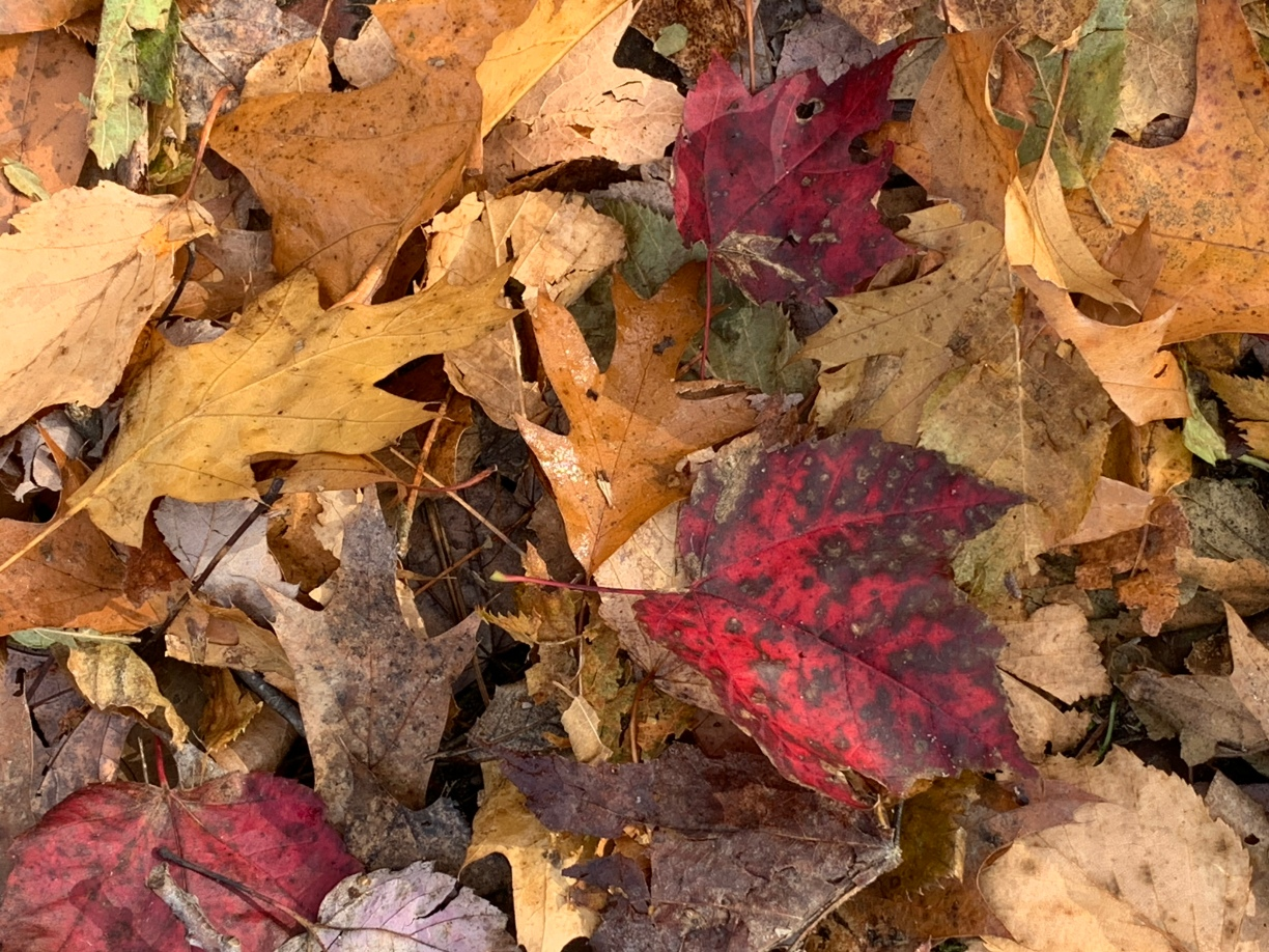 three red maple leaves with black spots among brown oak leaves