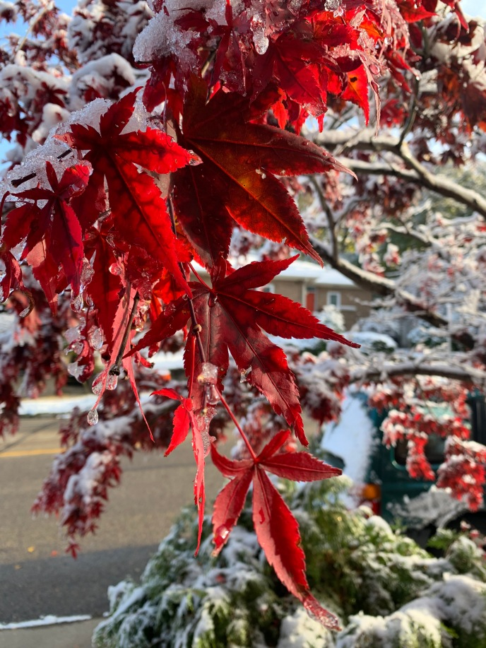 Bright red maple leaves Photo: Rebecca Cuningham