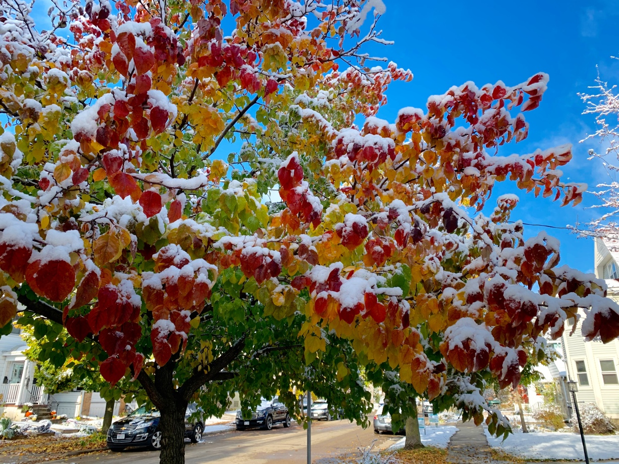 A tree with a rainbow of leaf colores red, orange, yellow, and green, with a dusting of snow. Photo: Rebecca Cuningham