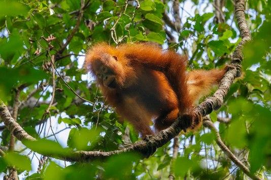1599px-Bornean_orangutan_(Pongo_pygmaeus),_Tanjung_Putting_National_Park_08