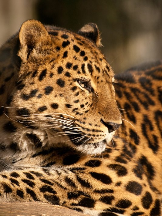 Portrait of an amur leopard at Marwell Zoo