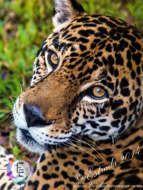 Jaguar,_Panthera_Onca