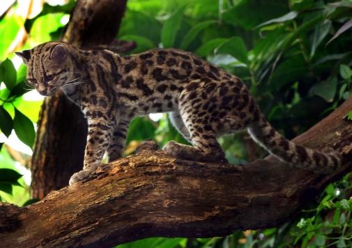 Leopardus_wiedii