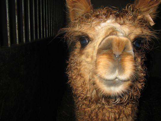 1600px-Alpaca_face