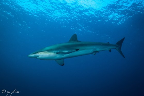 2560px-2017,_cuba,_jardines_aggressor,_vicente,_silky_shark_(37552783701)